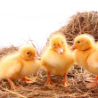 Three yellow fluffy ducklings — Stock Photo #7287474