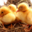 Yellow fluffy ducklings on the hay - Stock Photo