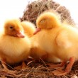 Three yellow fluffy ducklings sleep — Stock Photo