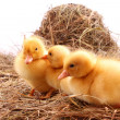 Three yellow fluffy ducklings — Stock Photo