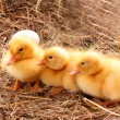 Yellow fluffy ducklings on the hay — Stock Photo #7287487