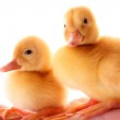Two yellow fluffy ducklings on the hand — Stock Photo #7287489