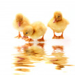 Little yellow fluffy ducklings isolated — Stock Photo #7287542