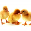 Three yellow fluffy ducklings isolated on white — Stock Photo #7287547