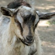Small grey and black   goat outside - Stock Photo