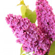 Violet lilacs isolated on white — Stock Photo #7288195