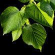 Green leaves on black background — Stock Photo