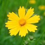 Sunny yellow flowers background — Stock Photo