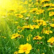 Sunny yellow flowers background — Stock Photo