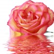 Bright pink rose with reflection — Stock Photo #7289213