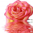 Stock Photo: Bright pink rose with reflection