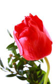 One red tulip isolated on white — Stock Photo