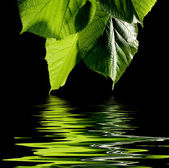 Green leaves with water drops on black background — Stock Photo