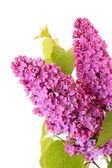 Violet lilacs isolated on white — Foto Stock