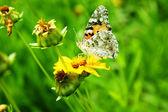 Borboleta sobre a flor amarela — Foto Stock