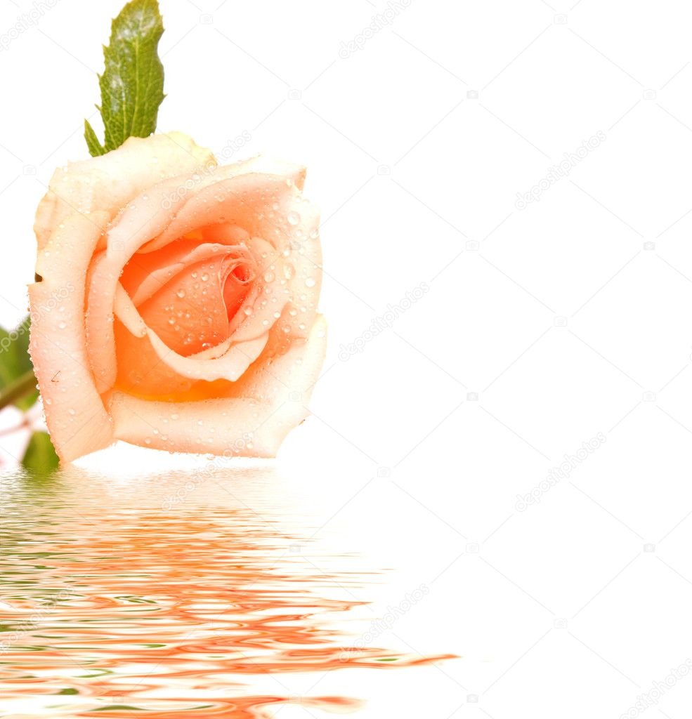 White rose with reflection — Stock Photo #7286669