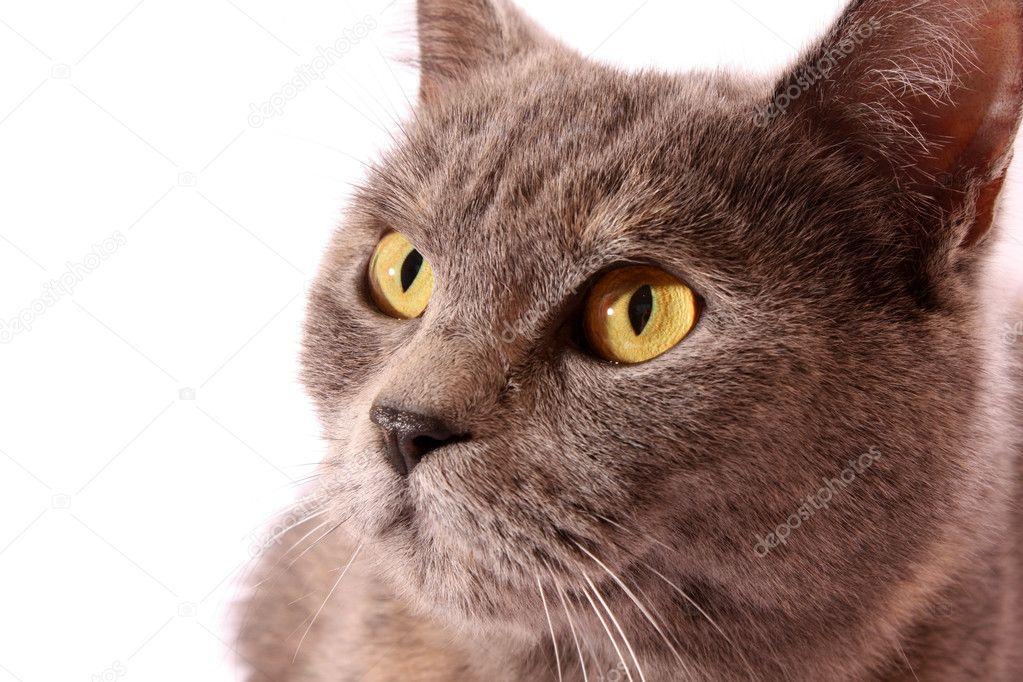 灰猫白色背景