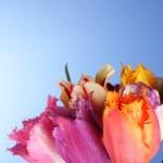 Tulips on blue background — Stock Photo #7294746