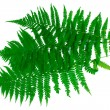 Three green leaves of fern isolated on white — Stock Photo #7295164