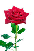 Beautiful red rose with drops isolated on white — Stock Photo