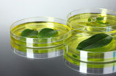 Genetically modified plant tested in petri dish — Stock Photo