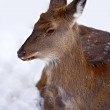 Doe-deer lying at the snow — Stock Photo