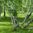 Forest with curved trees - Stock Photo