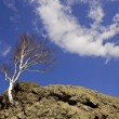 Birch on rock striving for sky. — Stock Photo