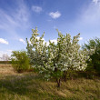 Blossoming apple-tree — Foto de Stock