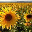 Filed of sunflowers — Stock Photo