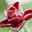 Frozen red rose with ice, on green backround — Stock Photo #7946746