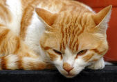 A ginger Cat — Stock Photo