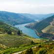 Royalty-Free Stock Photo: Rio Douro - Vineyards (1)