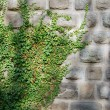 Stock Photo: Old wall and ivy