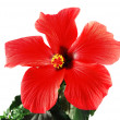 Red hibiscus — Stock Photo #6807490