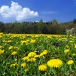 Stock Photo: Dandelion meadow
