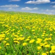 Royalty-Free Stock Photo: Field of dandelions