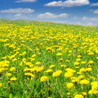 Stock Photo: Field of dandelions