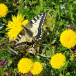 Swallowtail on dandelion — Stock Photo