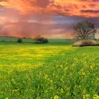 Rape field at sunset — Stock Photo