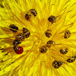 Ladybirds on dandelion — Stock Photo