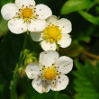 Strawberry blooms — Stock Photo #6807796