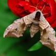 Moth and flower — Stock Photo