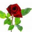 Stock Photo: Red rose with leaves