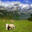 Cows, lake and mountains - Stock Photo