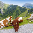 Lazy cows — Stock Photo