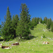 Alps and cows — Stock Photo