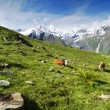 Alps and cows — Stock Photo #6809085