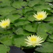 Stock Photo: Water lilies