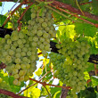 Wine grapes — Stock Photo #6809790